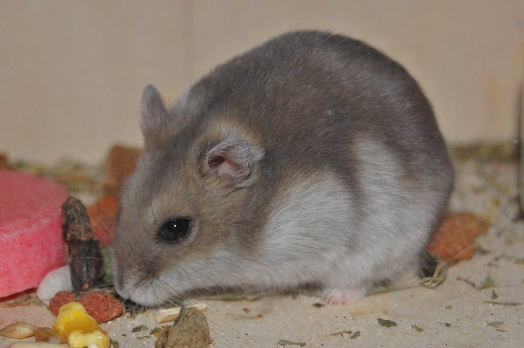 The Campbell hamster breed