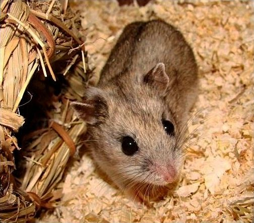 Chinese dwarf hamster with brown coat