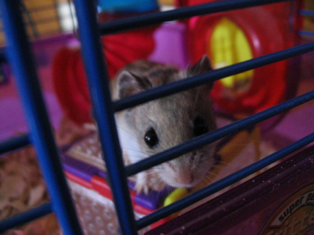 Chinese hamster looking out through gaps in cage bars