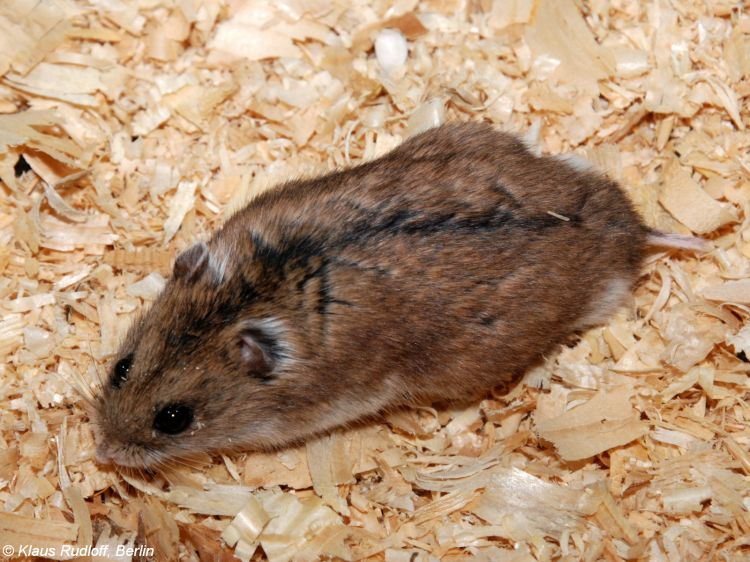 Chinese hamster led out on sawdust