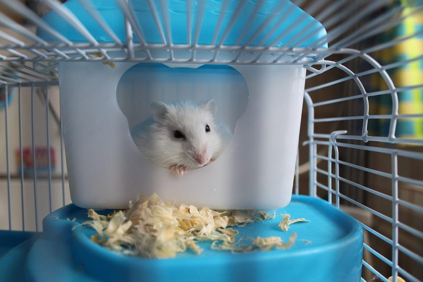 Cleaning routine for dwarf hamster