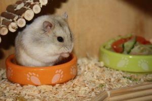 Dwarf hamster sitting in food bowl