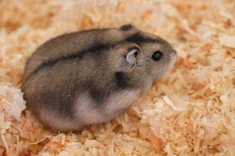 Brown dwarf hamster on sawdust