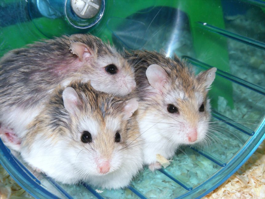 Three small dwarf hamsters sitting on hamster wheel