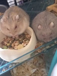 My pet dwarf hamsters eating together