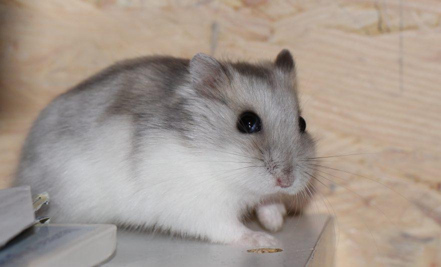 Dwarf Hamster Breeds