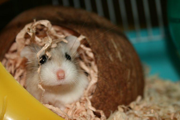 Small robo Russian hamster