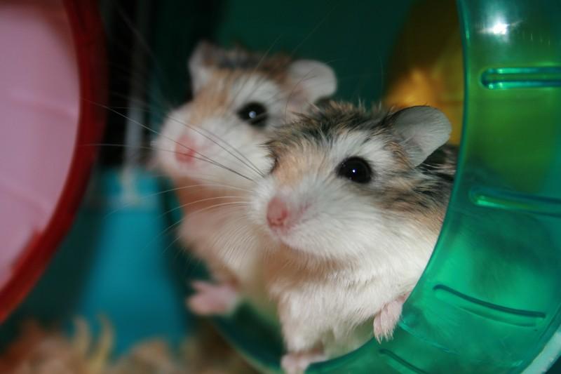 Robo hamsters in exercise wheel