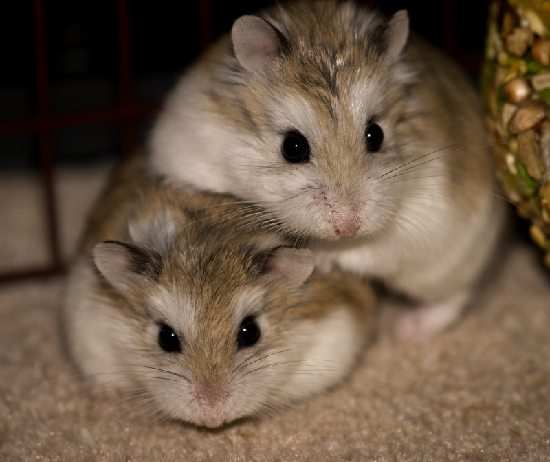 Keeping Multiple Hamsters - Can Dwarf Hamsters Live Together?