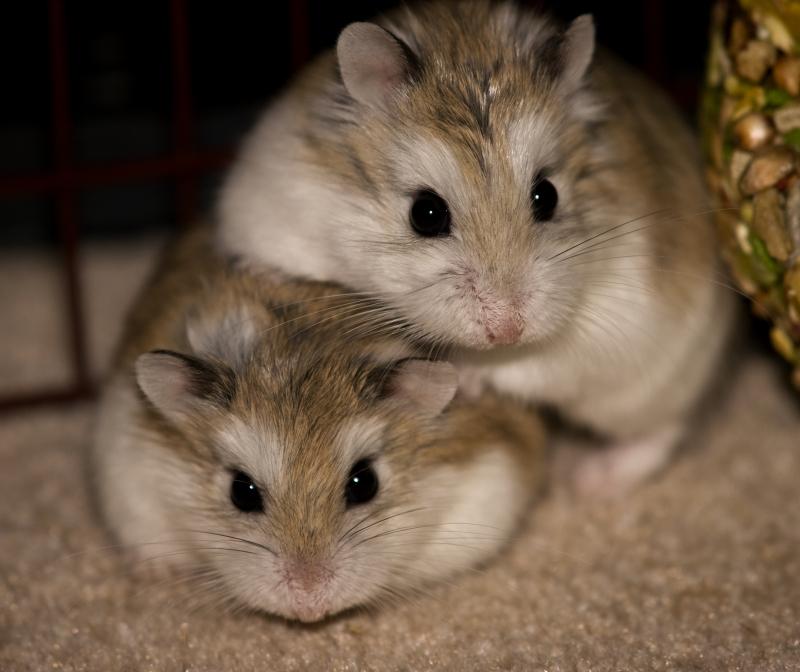Two robo dwarf hamsters