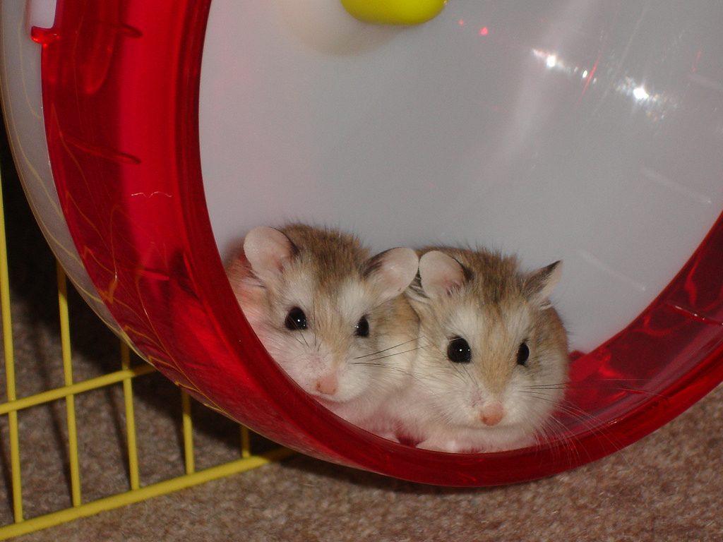 Roborovski hamsters sat in wheel