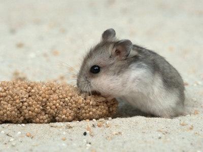 dwarf hamster eating food