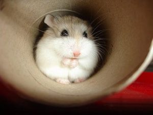 Complete Dwarf Hamster Care Guide - How To Keep A Dwarf Hamster