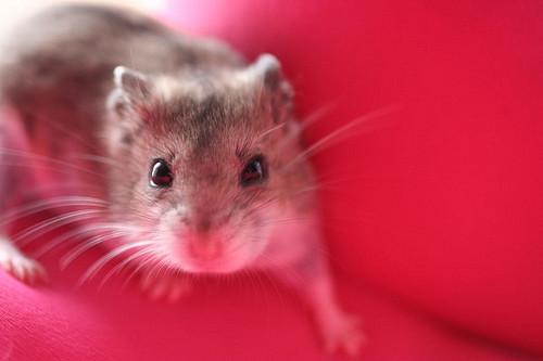 dwarf hamster walking on red background