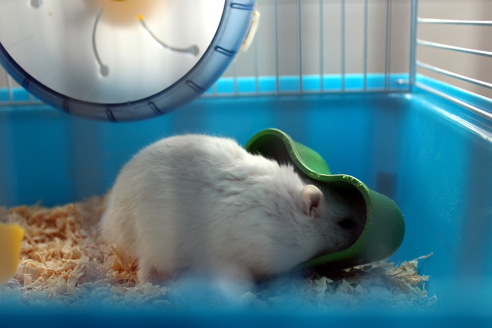 cleaning winter white dwarf hamster