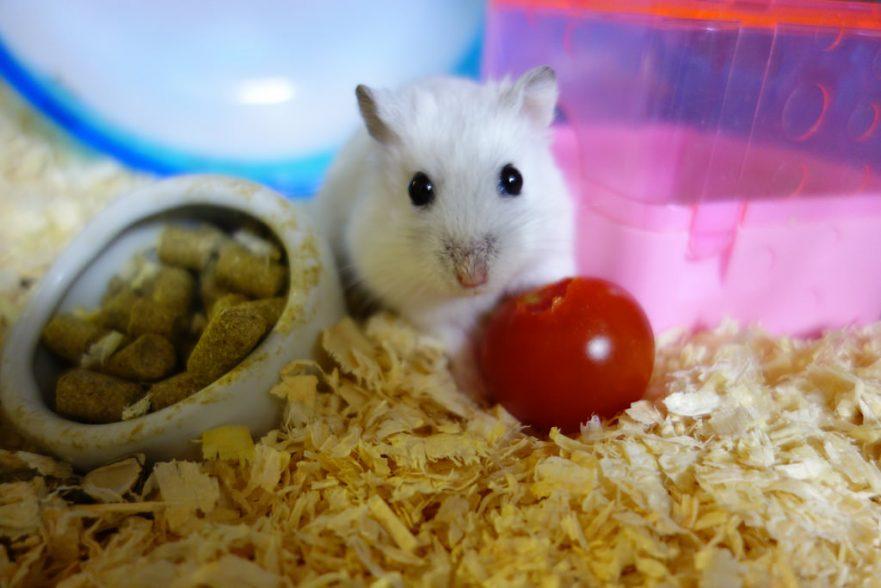 Winter white dwarf hamster eating