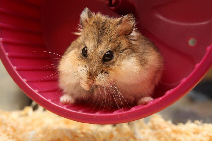 Robo hamster on wheel