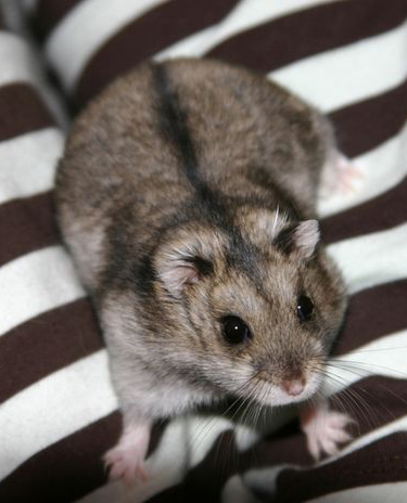Campbell's hamster