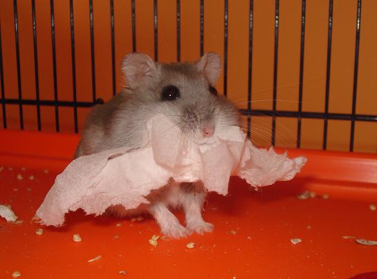 Winter White hamster carrying bedding