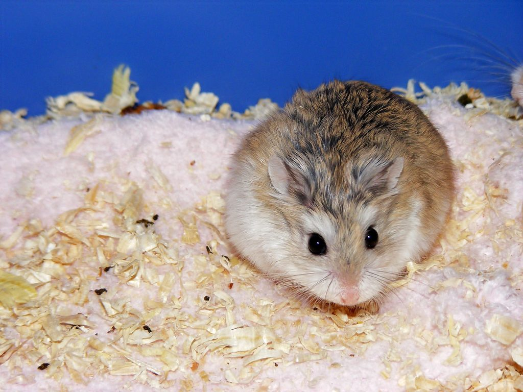 Robo hamster in cage