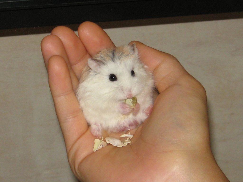 How To Keep A Roborovski Dwarf Hamster - Robo Hamster Care Guide