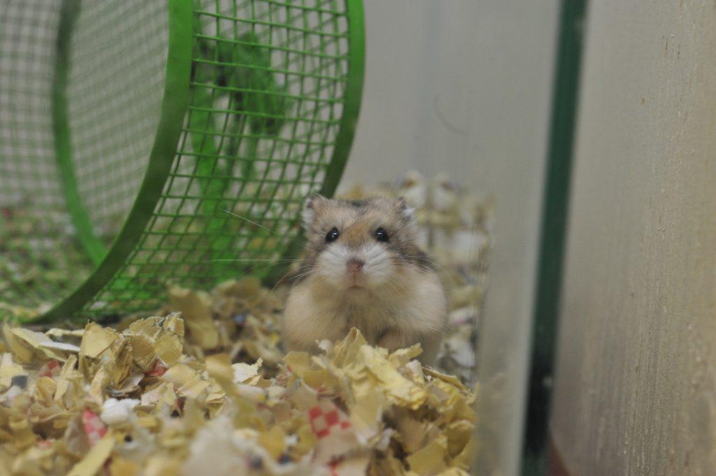 Sandy brown dwarf hamster