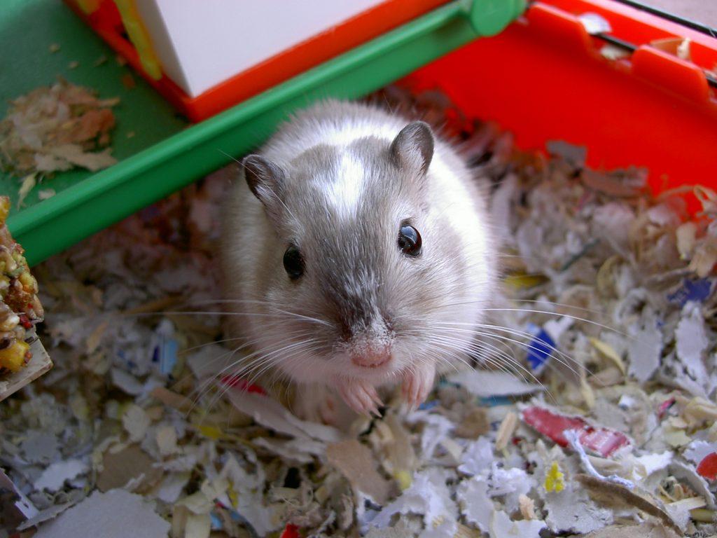grey gerbil in cage