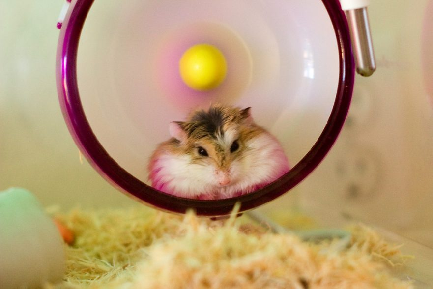 Do Hamsters Need A Wheel? Here's Why Hamsters Love Exercise